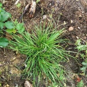 Photographie n°2418689 du taxon Carex caryophyllea Latourr. [1785]