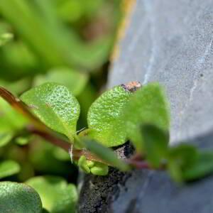 Photographie n°2418928 du taxon Thymus praecox Opiz [1824]