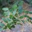 Gliricidia sepium (Jacq.) Kunth ex Walp. [1842] [nn4713] par Liliane Roubaudi le 27/02/2017 - Fort-de-France