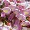 Gliricidia sepium (Jacq.) Kunth ex Walp. [1842] [nn4713] par Liliane Roubaudi le 02/03/2017 - Les Trois-Îlets
