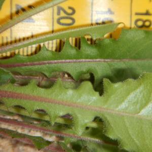 Photographie n°2419403 du taxon Crepis sancta (L.) Bornm. [1913]