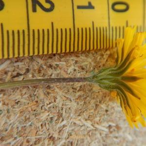 Photographie n°2419404 du taxon Crepis sancta (L.) Bornm. [1913]