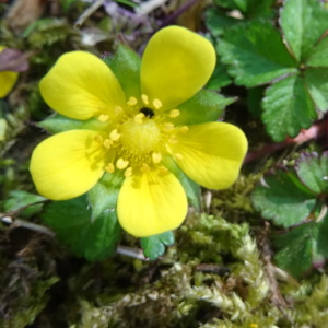 Photographie n°2419753 du taxon Potentilla indica (Andrews) Th.Wolf [1904]