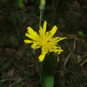 Photographie n°2420208 du taxon Hieracium laevigatum Willd. [1803]