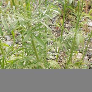 Photographie n°2420230 du taxon Scabiosa columbaria L.