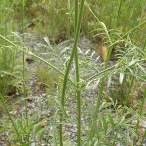 Photographie n°2420231 du taxon Scabiosa columbaria L.