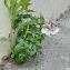 Nemesia fruticans (Thunb.) Benth. [1836] [nn94171] par florentbota le 11/05/2020 - Paris