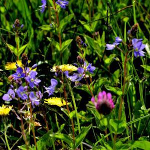Photographie n°2420576 du taxon Veronica chamaedrys L. [1753]
