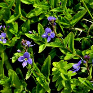Photographie n°2420578 du taxon Veronica chamaedrys L. [1753]