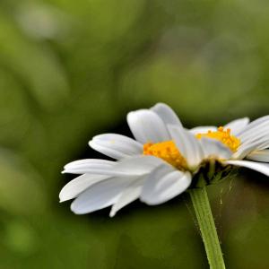 Photographie n°2420589 du taxon Leucanthemum vulgare subsp. eliasii (Sennen & Pau) Sennen & Pau [1929]