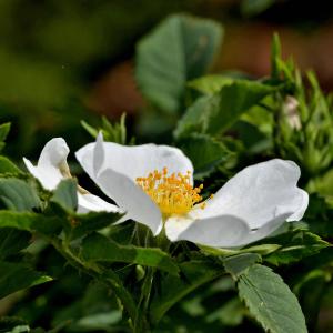 Photographie n°2420599 du taxon Rosa canina L. [1753]