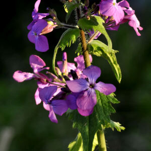 Photographie n°2420683 du taxon Lunaria annua L. [1753]