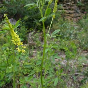 Photographie n°2420719 du taxon Trigonella officinalis (L.) Coulot & Rabaute [2013]
