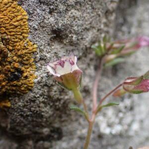 Photographie n°2420818 du taxon Chaenorhinum origanifolium (L.) Kostel.