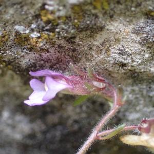 Photographie n°2420819 du taxon Chaenorhinum origanifolium (L.) Kostel.