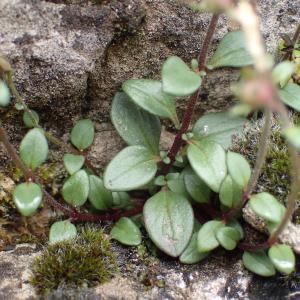 Photographie n°2420822 du taxon Chaenorhinum origanifolium (L.) Kostel.