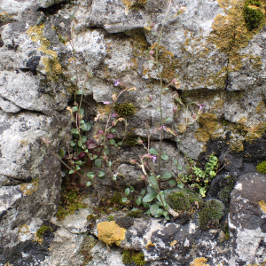 Photographie n°2420824 du taxon Chaenorhinum origanifolium (L.) Kostel.