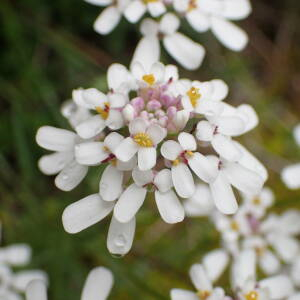 Iberis pinnata L. (Ibéris à feuilles pennatifides)