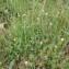 Sylvain Piry - Trifolium incarnatum L.