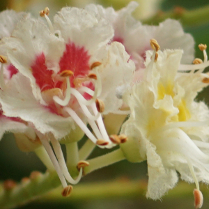 Aesculus hippocastanum L. (Marronnier blanc)