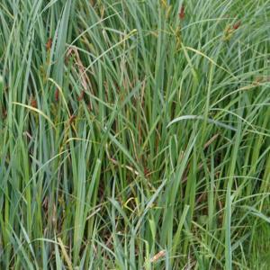 Photographie n°2420942 du taxon Carex acuta L. [1753]