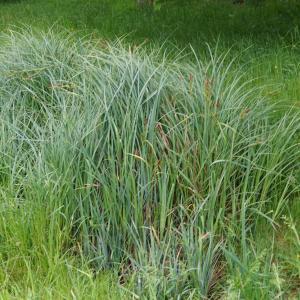 Photographie n°2420943 du taxon Carex acuta L. [1753]