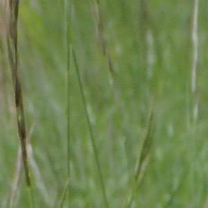 Photographie n°2420989 du taxon Cephalanthera damasonium (Mill.) Druce