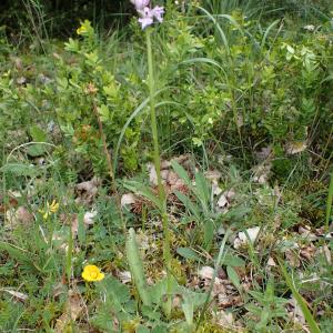 Photographie n°2421023 du taxon Dactylorhiza fuchsii (Druce) Soó
