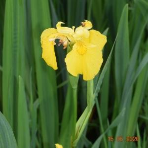 Photographie n°2421169 du taxon Iris pseudacorus L. [1753]