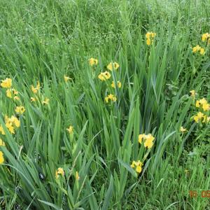 Photographie n°2421170 du taxon Iris pseudacorus L. [1753]