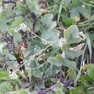 Photographie n°2421214 du taxon Capsella bursa-pastoris (L.) Medik.