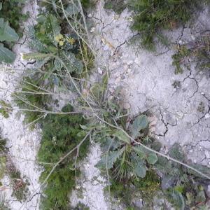 Photographie n°2421383 du taxon Capsella bursa-pastoris (L.) Medik.