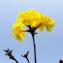 Tabebuia chrysantha (Jacq.) Nichols. [1887] [nn10180] par Guy Van Laere le 17/05/2020 - Trois-Rivières