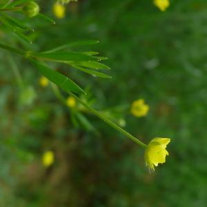Photographie n°2421691 du taxon Ranunculus arvensis L. [1753]