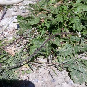 Photographie n°2421718 du taxon Capsella bursa-pastoris (L.) Medik.
