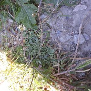 Photographie n°2421720 du taxon Capsella bursa-pastoris (L.) Medik.