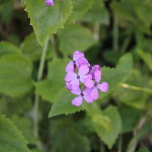 Photographie n°2421835 du taxon Lunaria annua L. [1753]