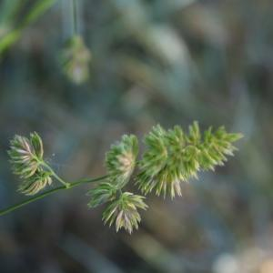 Photographie n°2421894 du taxon Dactylis glomerata L. [1753]