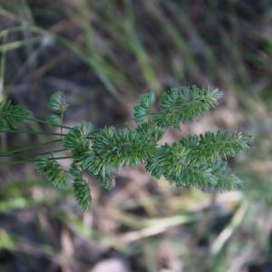 Photographie n°2421895 du taxon Dactylis glomerata L. [1753]