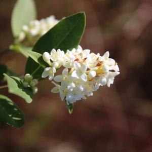 Photographie n°2421923 du taxon Ligustrum vulgare L. [1753]