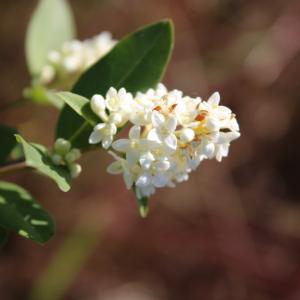 Photographie n°2421924 du taxon Ligustrum vulgare L. [1753]