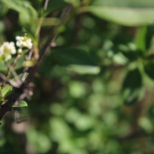 Photographie n°2421925 du taxon Ligustrum vulgare L. [1753]
