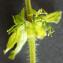 Liliane Roubaudi - Cruciata laevipes Opiz [1852]