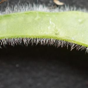 Photographie n°2422096 du taxon Cytisus scoparius (L.) Link [1822]