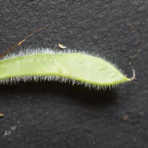 Photographie n°2422107 du taxon Cytisus scoparius (L.) Link [1822]