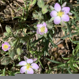 Photographie n°2422155 du taxon Spergularia rubra (L.) J.Presl & C.Presl [1819]