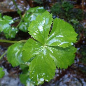 Photographie n°2422283 du taxon Ranunculus aconitifolius L.