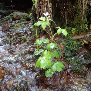 Photographie n°2422284 du taxon Ranunculus aconitifolius L.