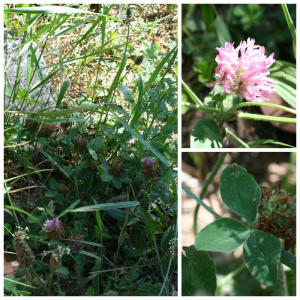 Photographie n°2422517 du taxon Trifolium pratense L.