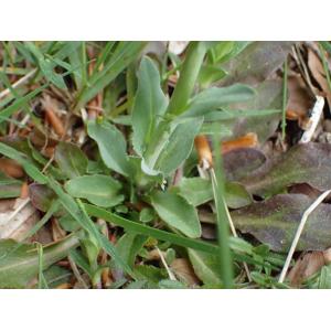 Noccaea brachypetala (Jord.) F.K.Mey. (Tabouret à pétales courts)